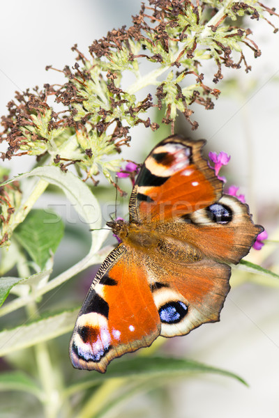 European peacock butterfly Stock photo © manfredxy
