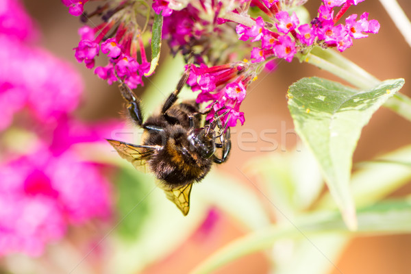 Bumblebee collecting nectar at a budleja blossom Stock photo © manfredxy