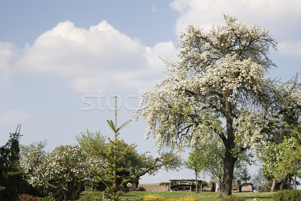 Flowering tree Stock photo © manfredxy