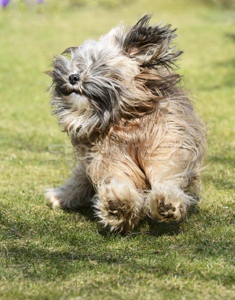 Running Tibetan Terrier Dog Stock photo © manfredxy