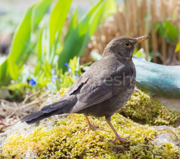 Female Eurasian Balckbird Stock photo © manfredxy
