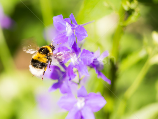 Bumblebee flying to a purple flower Stock photo © manfredxy