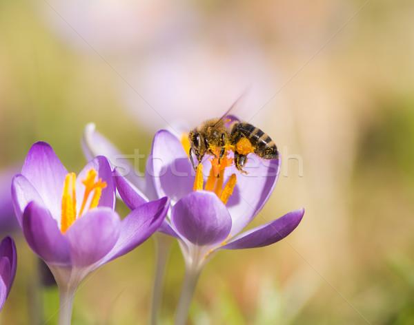 Flying honeybee pollinating a purple crocus flower Stock photo © manfredxy