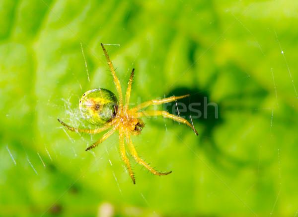 Cucumber green spider (Araniella cucurbitina) in its web Stock photo © manfredxy