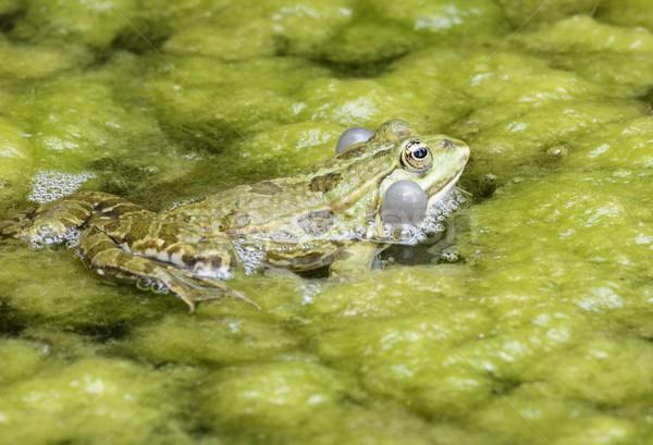 żaba spuchnięty wody charakter zielone zwierząt Zdjęcia stock © manfredxy
