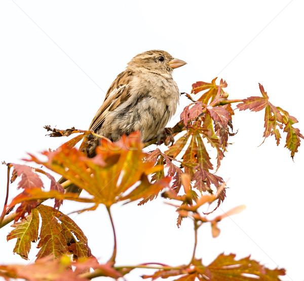 Wróbel ptaków posiedzenia gałązka drzewo charakter Zdjęcia stock © manfredxy