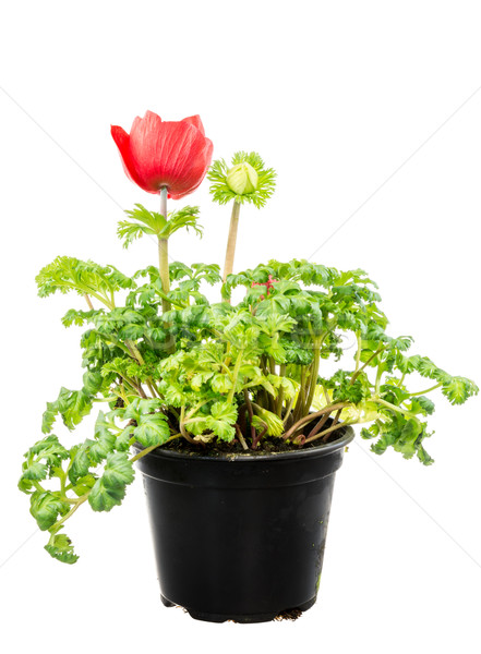 Isolated potted red Anemone flower Stock photo © manfredxy