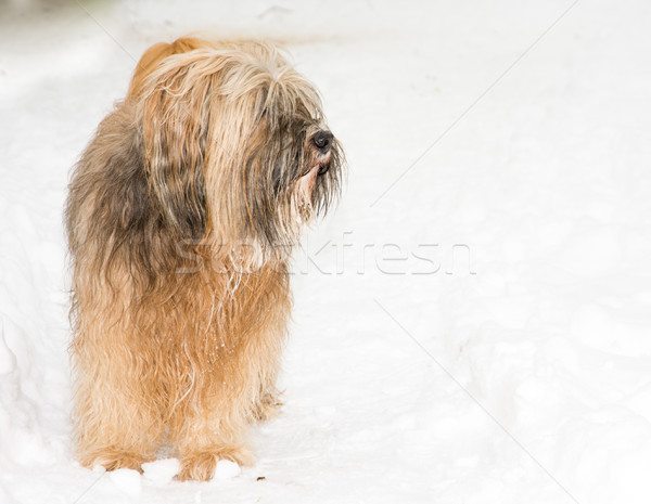 Tibetan terrier dog standing in the snow Stock photo © manfredxy