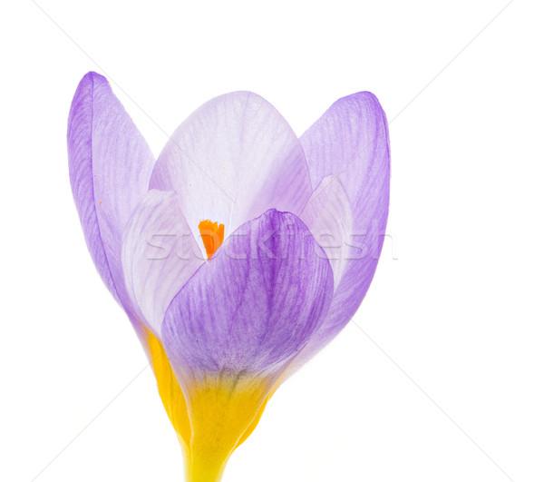 Isolated purple crocus flower blossom Stock photo © manfredxy