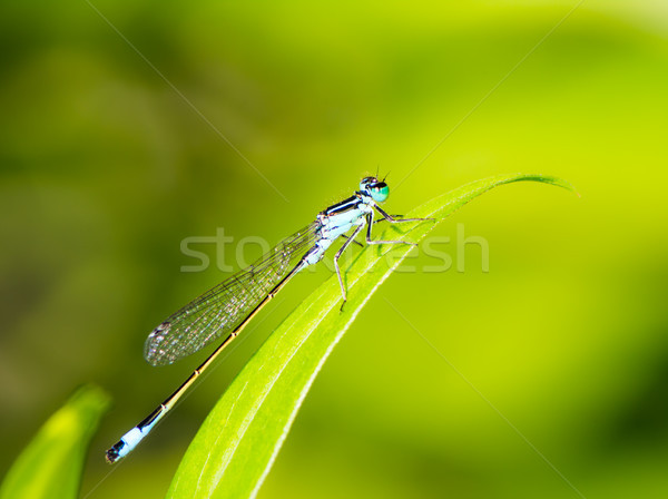 Bluetail damselfly on a green leaf Stock photo © manfredxy