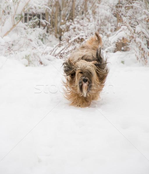 Terriër hond lopen sneeuw tuin lopen Stockfoto © manfredxy