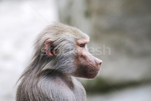 бабуин портрет серый обезьяны рот Сток-фото © manfredxy