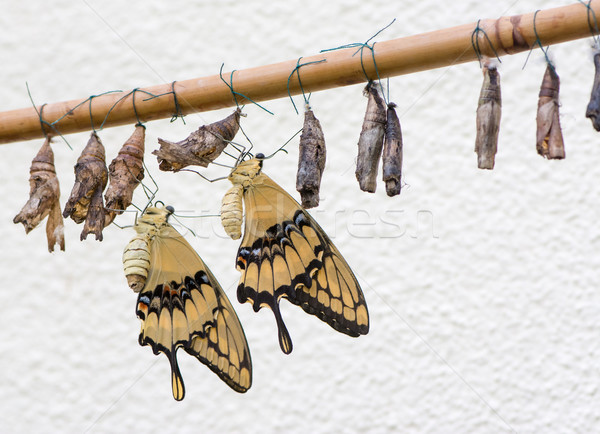 Butterflies and Cocoons Stock photo © manfredxy