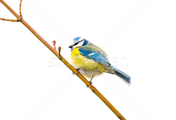 Isolated Blue Tit Bird Stock photo © manfredxy