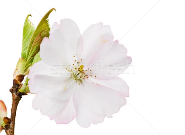 Isolated white cherry blossom Stock photo © manfredxy