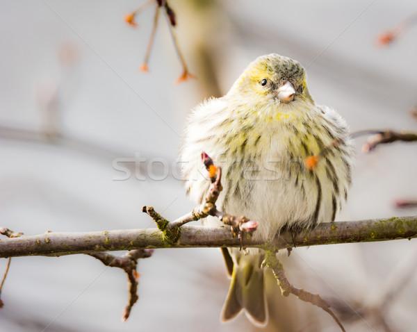 Female black-headed goldfinch Stock photo © manfredxy