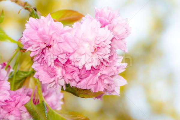 Roze bloei boom bloem mooie Stockfoto © manfredxy