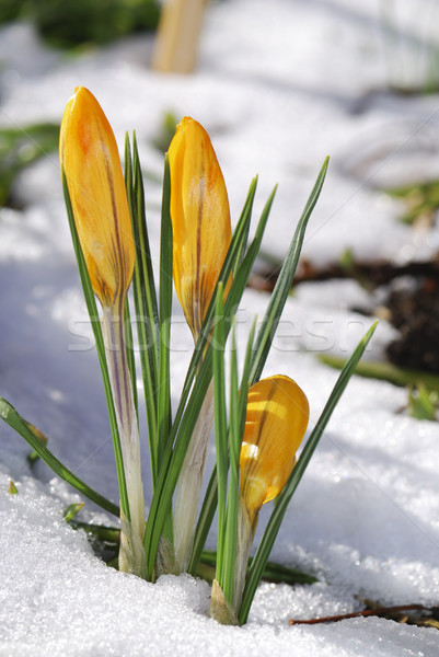 Stock photo: Crocus buds in the snow