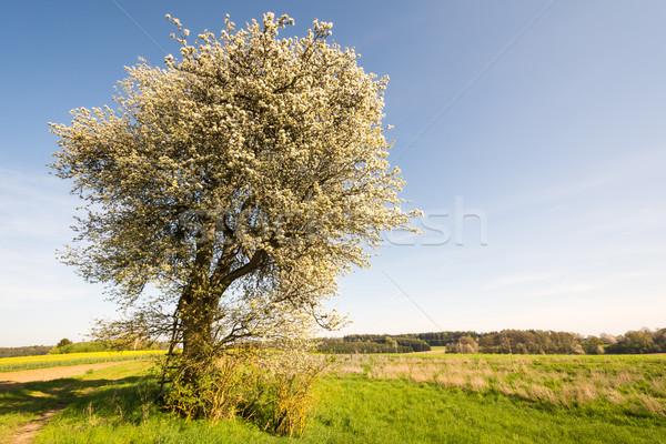 Landschap bloei boom voorjaar Stockfoto © manfredxy