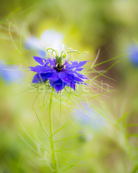 Blue nigella flower blossom Stock photo © manfredxy