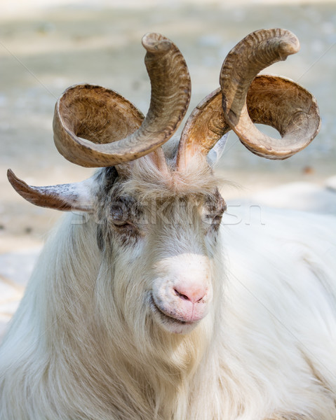 Portrait of a markhor goat Stock photo © manfredxy
