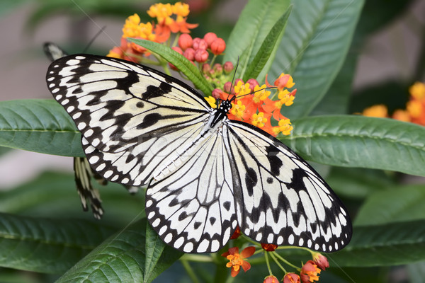Exotic Butterfly Stock photo © manfredxy