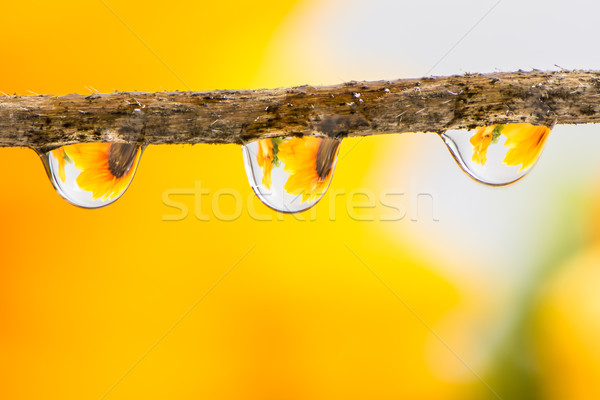 Flower and Raindrops Stock photo © manfredxy