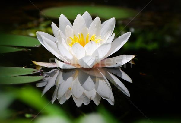 White lotus Stock photo © manfredxy