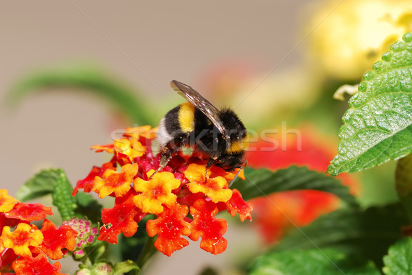 Abeja abejorro rojo flor flores hojas Foto stock © manfredxy