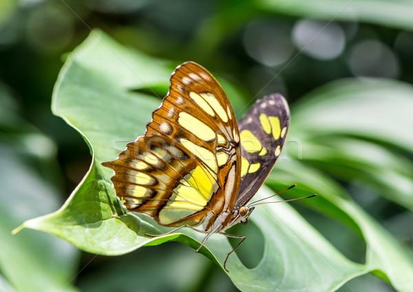 Borboleta tropical malaquita natureza verde asas Foto stock © manfredxy