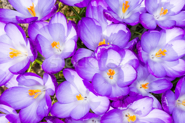 Stock photo: Purple Crocus Blossoms