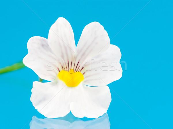 Nemesia Flower Stock photo © manfredxy