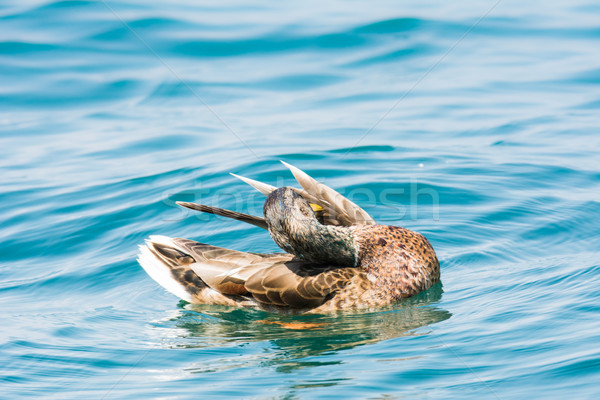 Female wild duck Stock photo © manfredxy