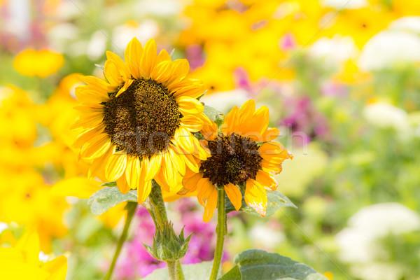желтый Клумба саду подсолнечника лепестков Сток-фото © manfredxy
