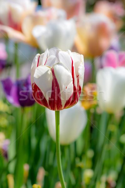 Kitűnő tulipán virág virágágy tavasz festői Stock fotó © manfredxy