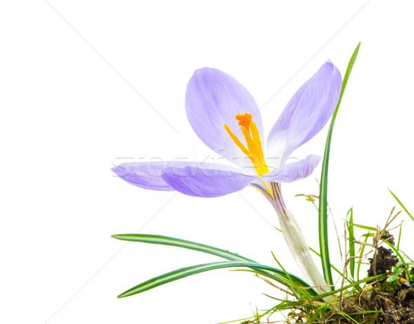 Izolált lila kikerics virág makró virág Stock fotó © manfredxy