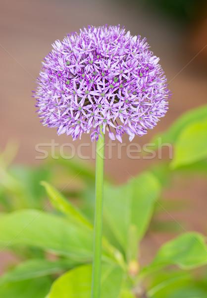 Stock fotó: Lila · óriás · hagyma · virág