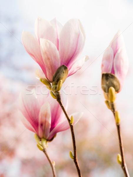 магнолия Blossom розовый дерево весны природы Сток-фото © manfredxy