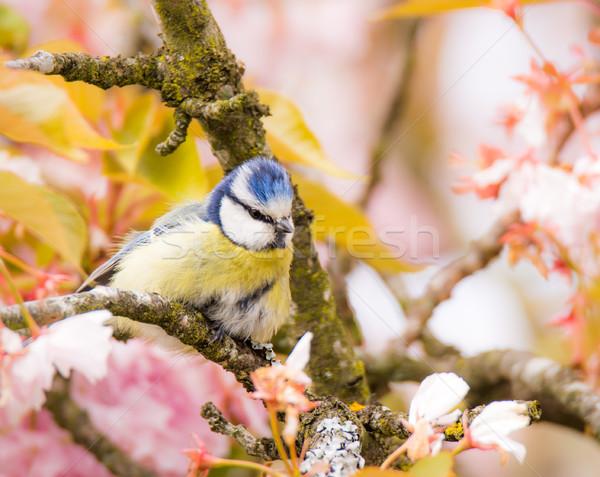 синий Тит цветения Вишневое дерево птица Сток-фото © manfredxy