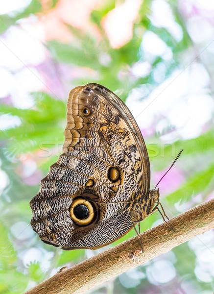 Tropikalnych Sowa Motyl makro charakter Zdjęcia stock © manfredxy