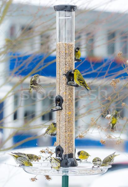 Swarm of eurasian siskin birds on a bird feeder Stock photo © manfredxy