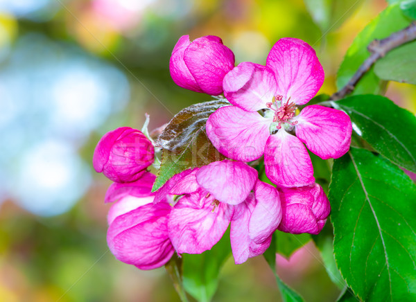 Pink apple blossoms Stock photo © manfredxy
