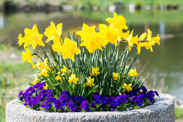 Daffodils and pansies Stock photo © manfredxy