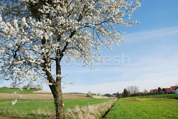 Bloei boom voorjaar schilderachtig hemel groeien Stockfoto © manfredxy
