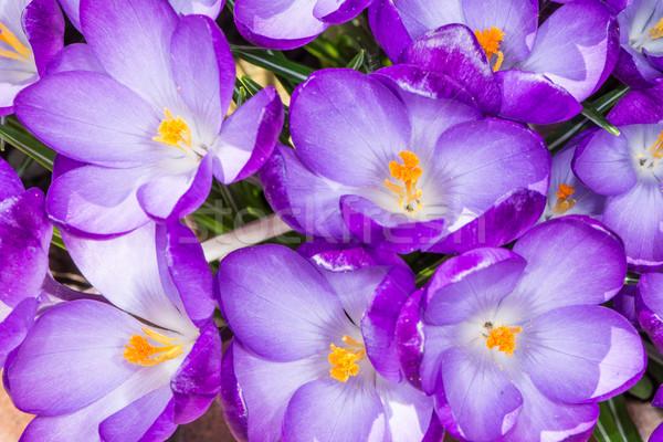 Roxo açafrão flores macro grupo flor Foto stock © manfredxy