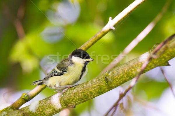 Jovem teta pássaro sessão Foto stock © manfredxy