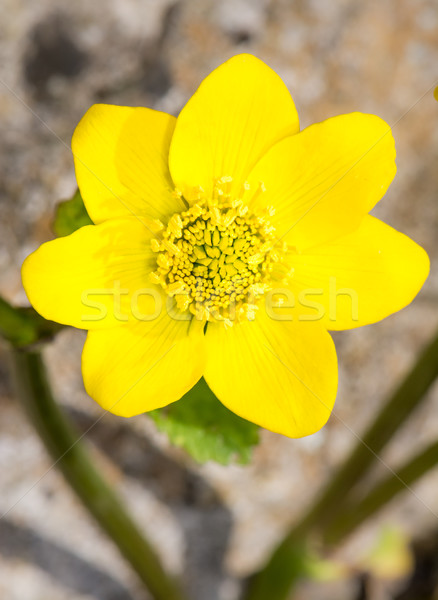 Stock photo: Yellow marsh marigold flower blossom