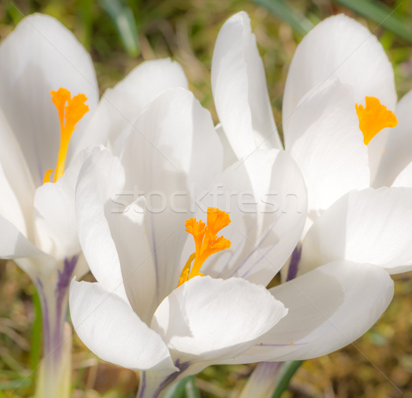 White crocus flower blossoms Stock photo © manfredxy