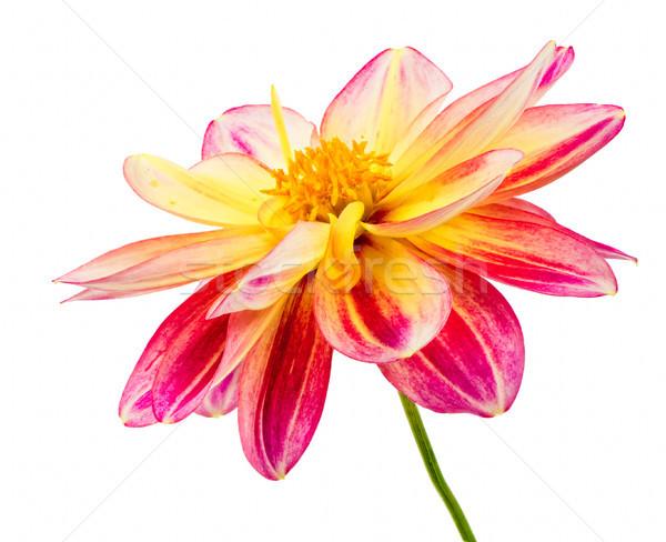 Yalıtılmış dalya çiçek çiçek makro kırmızı Stok fotoğraf © manfredxy