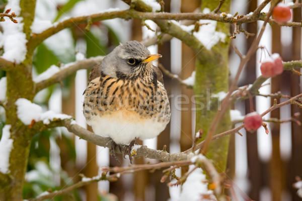 鳥 座って ツリー クローズアップ 自然 フルーツ ストックフォト © manfredxy